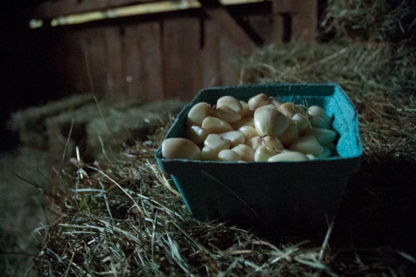 sogs8_garlic